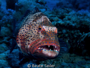 Grouper, taken at El Quadim with Canon G10 by Beate Seiler