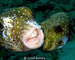 """Fighting Puffers""
