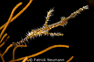 Ornate Ghostpipefish @ Richilieu Rock by Patrick Neumann