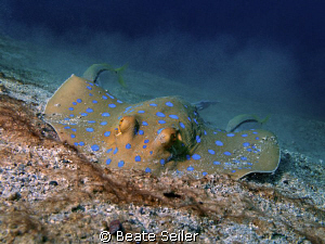 Bluespotted Ray ,digging for food .. , taken at El Quadim... by Beate Seiler