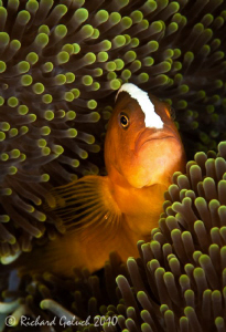 Portrait of Skunk Anemonefish by Richard Goluch