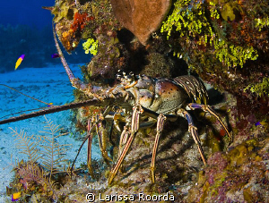 Caribbean Lobster, standing it's ground. by Larissa Roorda