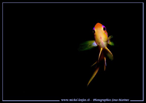 Face to Face with this little Red Damsel Fish in Marsa Sh... by Michel Lonfat