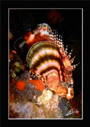 Ocellated (or dwarf) Lion fish, Anita's Reef - Similan Na... by Adriano Trapani