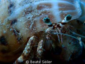 Hermit Crab , taken with Canon G10 and UCL165 by Beate Seiler