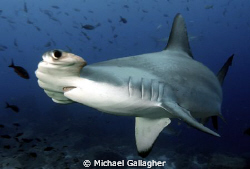 Hammerhead, Galapagos, up close! by Michael Gallagher