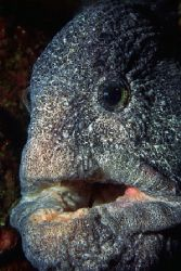 Wolf eel photographed at Sunrise Beach; Gig Harbor, Washi... by Glenn Cummings