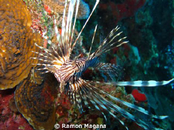 lion fish in playa del carmen...Canon G11 by Ramon Magana