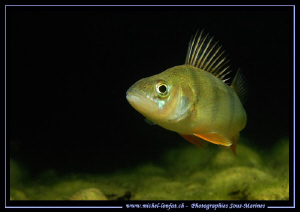A beautiful Perch at the end of my dive. They are really ... by Michel Lonfat