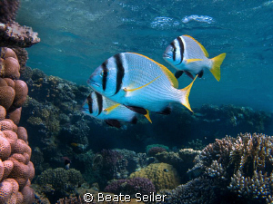 Three Porkfish at the housereef El Quadim, taken with Can... by Beate Seiler