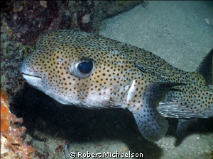 Porcupinefish with cleaning goby. Dc1000 with single flash by Robert Michaelson