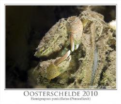 The Hemigrapsus penicillatus last weekend in water of 4 d... by John De Jong