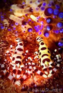 A pair of Coleman Shrimp-Lembeh by Richard Goluch