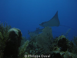Fabulous Eagle rays in Xpuha dive site on the cuevita ree... by Philippe Duval