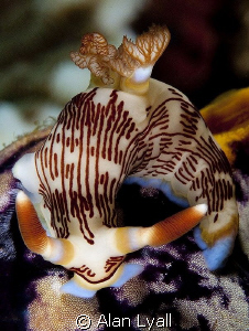 Nembrotha lineolata on golden sea squirt (Polycarpa aurata) by Alan Lyall