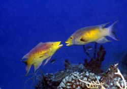Two Spanish Hogfish face off...Roatan, HN. by Jon Kreider