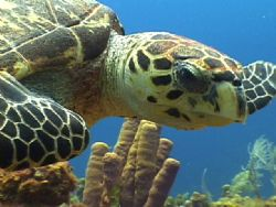 Hawksbill Turtle. Roatan, Bay Islands. by Shawn Jackson