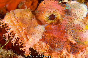 """""""Not my best side, I am afraid!""""  Scorpionfish by Carlo Greco"""