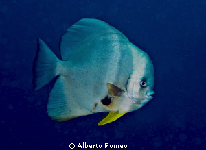 Portrait of a batfish Platax teira. by Alberto Romeo