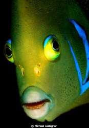 Angelfish portrait, Seychelles by Michael Gallagher