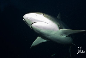 This image of a Reef Shark was taken uring my shark exped... by Steven Anderson