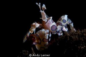 Harlequin shrimp - Seraya beach, Bali. by Andy Lerner