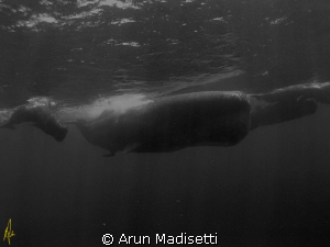 Meet the family  Fully mature Bull (Biggest I have ever... by Arun Madisetti