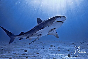 With the sun came the Tiger Sharks! A beautiful day at Ti... by Steven Anderson