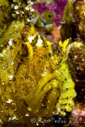 Leafy Scorpion Fish.  Canon 40D, 60mm. by Ryan Pedlow