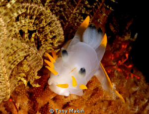 Crowned nudibranch by Tony Makin