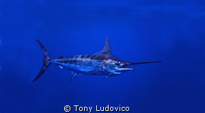 300lb Blue Marlin successfully released off the coast of ... by Tony Ludovico