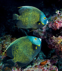 Two French Angelfish by Larissa Roorda