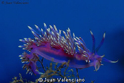 Flavellina affinis by Juan Valenciano