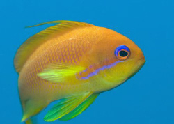 Female Anthias shot in mid water above the wreck of the K... by Paul Colley