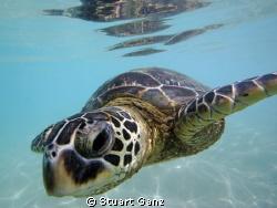 Hawaiian Green sea turtle. by Stuart Ganz