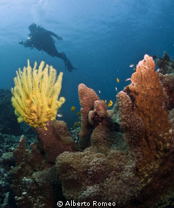 Yellow Feather Star and diver background. by Alberto Romeo