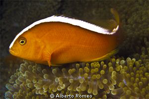 Portrait of Anphiprion sandaracinos. by Alberto Romeo
