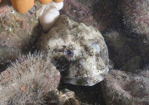Short spined scorpion fish. Farne islands. D200, 20mm. by Derek Haslam
