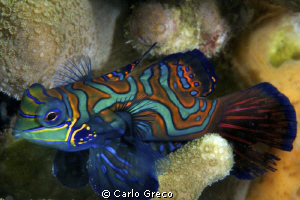 Male mandarin fish. Yap. by Carlo Greco