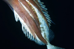 Close up of a Reef Squid attacking a Rabbitfish at night.... by Paul Colley