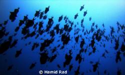 Redtooth triggerfish, Hafsa Thila, Maldives. Canon G9 / I... by Hamid Rad