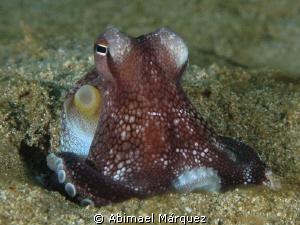 Tiny octopus by Abimael Márquez