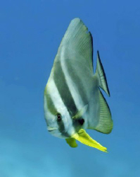 Batfish over a shallow submerged reef.  Natural light wit... by Paul Colley