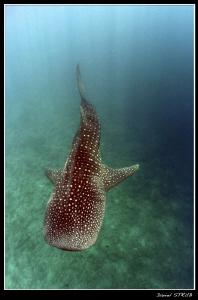 Rhincodon typus :-D by Daniel Strub