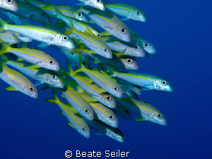 Yellowfin Goatfish at El Quadim, taken with Canon G10 by Beate Seiler