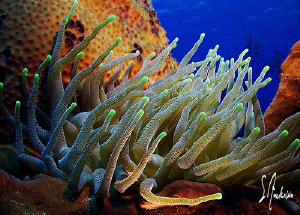 This image of a  Giant Anemone was taken last year while ... by Steven Anderson
