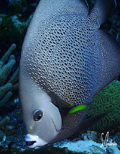 This image was taken during a dive in Cozumel ... The Gre... by Steven Anderson
