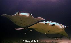 Mantas - Donkalo/Manta point, Maldives. Canon G9 / Ikelit... by Hamid Rad