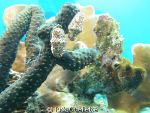 Pair of flamingo tongue nudibranchs stretching out. by Rick Ouellette