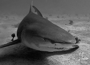 This image of a lazy Lemon Shark was taken at Tiger Beach. by Steven Anderson